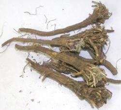 Anacyclus pyrethrum DC