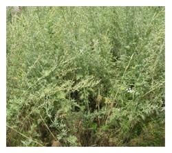 Artemisia absinthium Linn