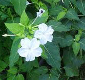 Boerhaavia diffusa Linn.