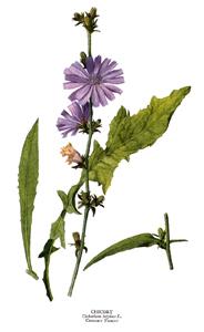 Cichorium intybus Linn