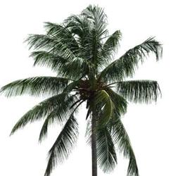 Cocos nucifera Linn