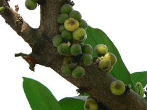 Ficus racemosa Linn