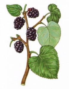Morus nigra Linn