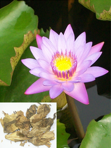 Nymphaea lotus Linn