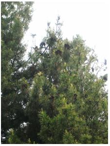 Pinus longifolia Roxb