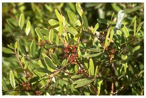 Pistacia lentiscus Linn