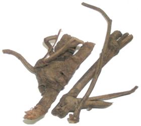 Plumbago zeylanica Linn