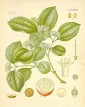 Strychnos Nux vomica Linn
