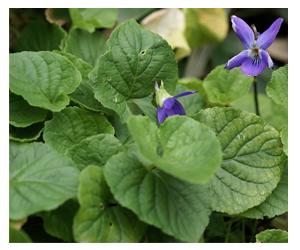 Viola odorata Linn